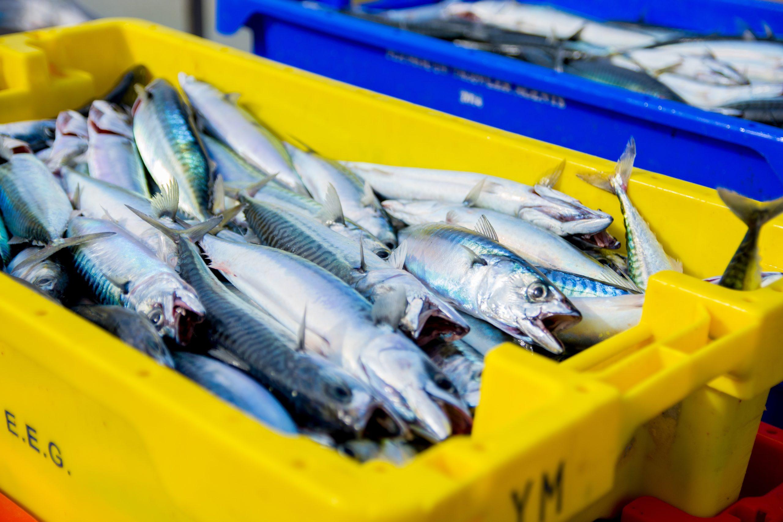 Verse makreel gevangen in de Atlantische Oceaan